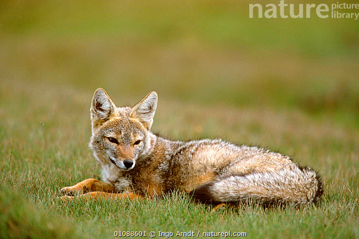 Pampas fox resting {Pseudolopex gymnocerus} Torres del Paine NP, Patagonia, Chile South America, CANIDS,CARNIVORES,DOGS,GRASSLAND,HORIZONTAL,IAR,MAMMALS,NATIONAL PARK,NP,RESERVE,SOUTH AMERICA, Ingo Arndt