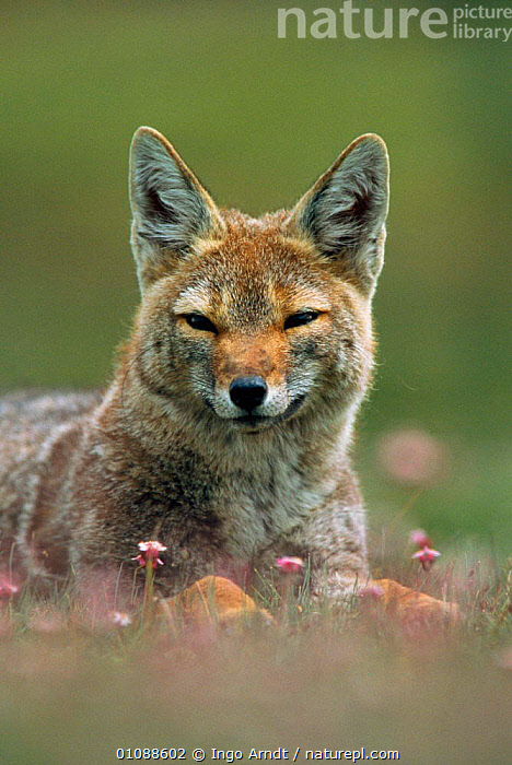 Pampas fox portrait {Pseudolopex gymnocerus} Torres del Paine NP, Patagonia, Chile, South America, ARNDT,CARNIVORES,IAR,MAMMALS,NP,ONE,PATAGONIA,PORTRAITS,RESERVE,SOUTH AMERICA,VERTICAL,NATIONAL PARK,DOGS,CANIDS,Grassland, Ingo Arndt