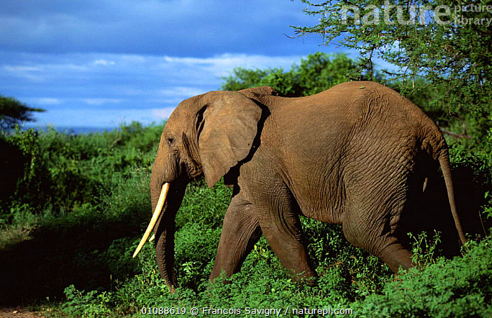 Bull African elephant in bush {Loxodonta africana} Lake Manyara NP, Tanzania, Africa, ADULT,EAST,EAST AFRICA,ELEPHANTS,MALES,MAMMALS,NATIONAL,NATIONAL PARK,PARK,PROBOSCIDS,PROFILE,TREES,VEGETATION,Africa,Plants, Francois Savigny
