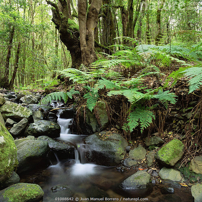 Interior of world's largest laurel forest, world heritage site, Garajonay NP, La Gomera island, Canary Islands, CANARIES,CANARY ISLANDS,EUROPE,FERNS,FORESTS,INTERIOR,NP,PLANTS,RIVERS,SPAIN,STREAMS,SUBTROPICAL,TREES,UNDERSTOREY,WATER,National Park , understory, Juan Manuel Borrero