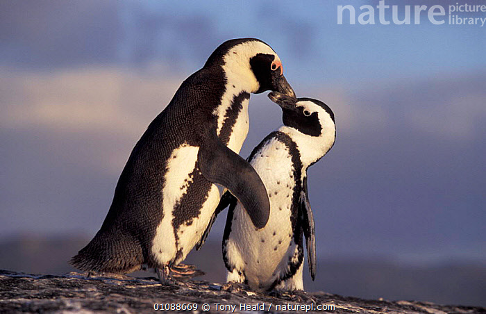 Black fronted penguins {Spheniscus demersus} Boulders Beach, South Africa Jackass male, CUTE,FEMALE,FLIGHTLESS,TWO,SOUTHERN AFRICA,RIGHT,SEABIRDS,LEFT,BIRDS,COASTS,MALE FEMALE PAIR,AFFECTIONATE,CONCEPTS,PENGUINS ,JACKASS, Seabirds, Tony Heald