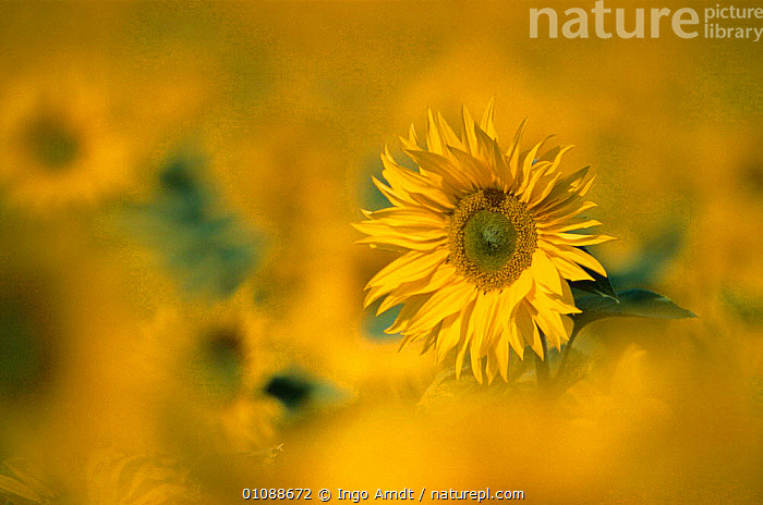 Sunflower abstract {Helianthus annuus}, ARTY,ARTY SHOTS,BRIGHT,COLOURFUL,DICOTYLEDONS,FLOWERS,PLANTS,SUMMER,YELLOW, Ingo Arndt