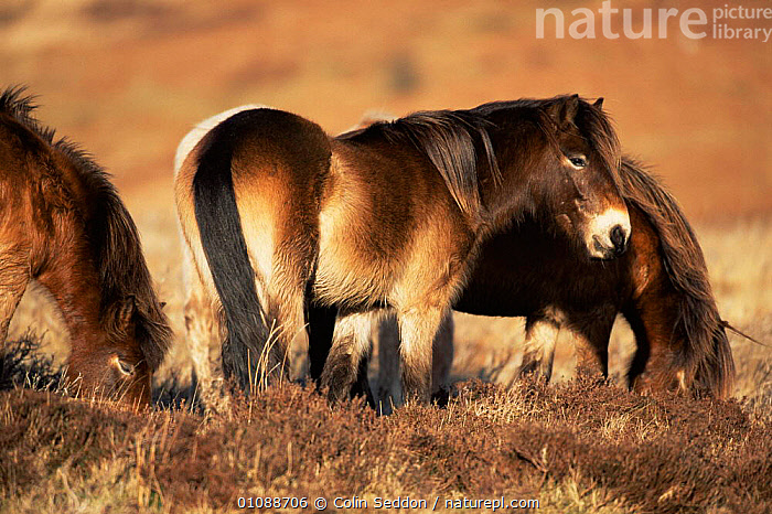 Exmoor ponies on moorland {Equus caballus} Exmoor National Park, Devon, England, UK, DOMESTIC HORSE,ENGLAND,EUROPE,FEEDING,GROUPS,HEATHLAND,HORIZONTAL,MAMMALS,NP,PERISSODACTYLA,UK,VERTEBRATES,United Kingdom,British,National Park, Colin Seddon