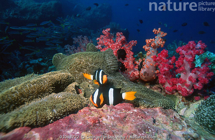 Clark's anemonefish {Amphiprion clarkii} spawning pair, Richelleux Rock, Andaman Sea, Thailand, BEHAVIOUR,CORAL REEFS,DAMSELFISH,EGGS,FISH,INDO PACIFIC,MALE FEMALE PAIR,MARINE,OSTEICHTHYES,REPRODUCTION,UNDERWATER,VERTEBRATES, Georgette Douwma