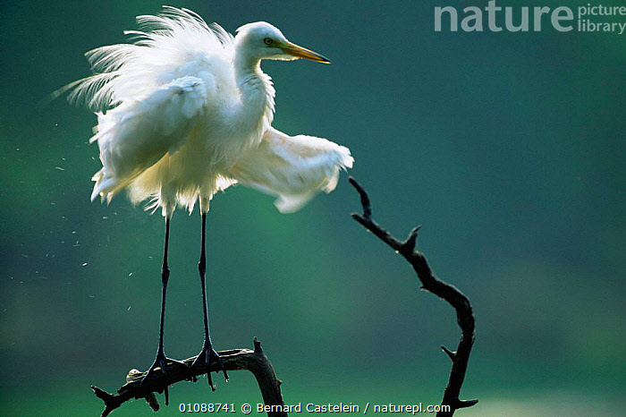 Intermediate egret drying wings {Egretta intermedia} Keoladeo Ghana NP, Rajasthan, India, BEHAVIOUR,BIRDS,FEATHERS,HERONS,INDIAN SUBCONTINENT,VERTEBRATES,WADING BIRDS,Asia,,UNESCO World Heritage Site,, Bernard Castelein