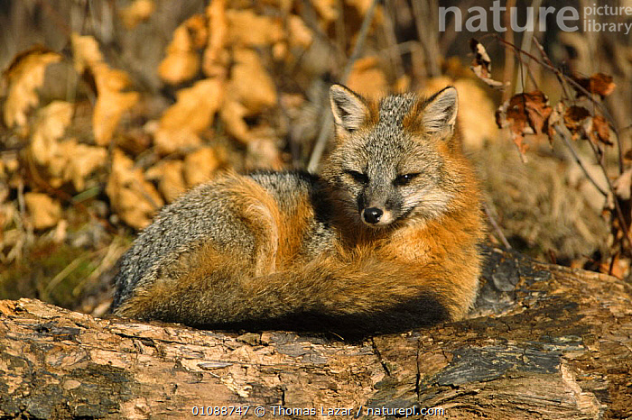 Eastern grey fox curled up (Urocyon cinereoargenteus) Kettle River, Minnesota, USA, CANIDS,CARNIVORES,CUTE,FACES,FOXES,FUR,HAIR,MAMMALS,NORTH AMERICA,PORTRAITS,RESTING,TAILS,USA,VERTEBRATES,WINTER,Dogs, Thomas Lazar