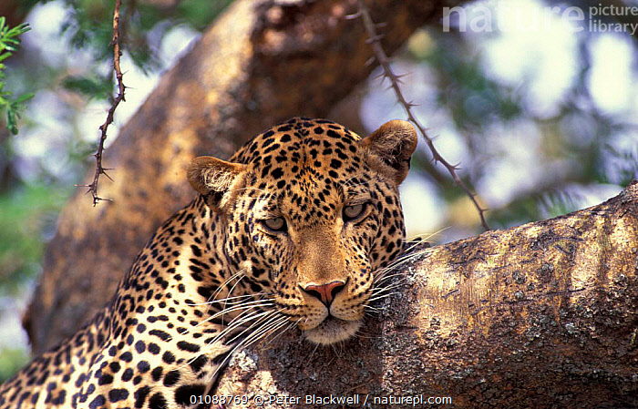 Leopard portrait in tree {Panthera pardus} Masai Mara National Reserve Kenya E Africa, EAST AFRICA,SPOTS,EAST,RESTING,TREES,BIG CATS,MAMMALS,PATTERNS,HEADS,RELAXED,CARNIVORES,PORTRAITS,AFRICA,PLANTS,LEOPARDS, Peter Blackwell
