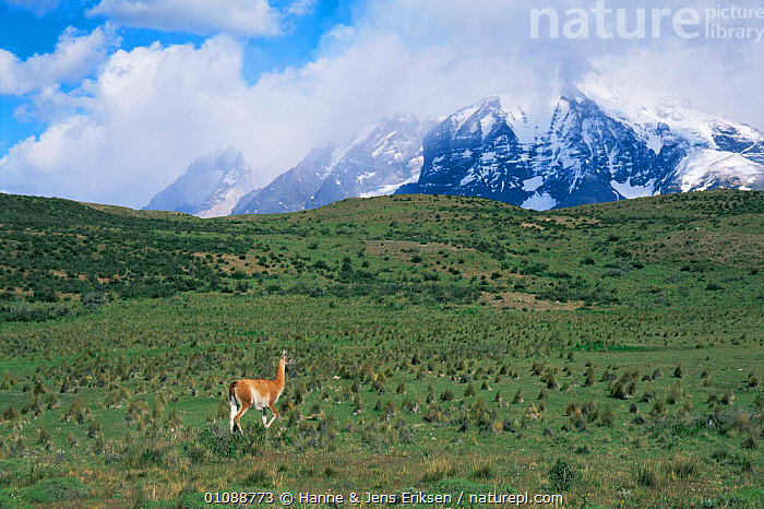 Solitary Guanaco {Lama guanicoe} walking in grassland, Torres del Paine NP, Chile, South America, ALPINE,ARTIODACTYLA,CAMELIDS,GRASSLAND,HABITAT,HIGHLANDS,LANDSCAPES,LLAMAS,MAMMALS,MOUNTAINS,NP,RESERVE,single,SOUTH AMERICA,VERTEBRATES,National Park, Hanne & Jens Eriksen