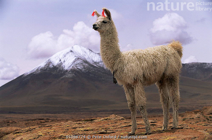 Domesticated Llama {Lama glama} with snow capped volcano om background,  Quetena River Valley, SW Bolivia, ARTIODACTYLA,CAMELIDS,HIGHLANDS,HORIZONTAL,LANDSCAPES,MAMMALS,PORTRAITS,SNOW,SOUTH AMERICA,VERTEBRATES,VOLCANOES,Geology, Pete Oxford