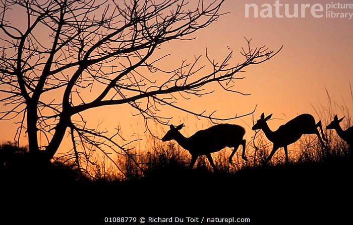 Nyala ewe (left) & Impala ewes at dusk, Winter, Phinda Resource Reserve, South Africa, MIXED SPECIES,SUNSET,FEMALES,LEFT,LANDSCAPES,SOUTH AFRICA,ARTIODACTYLA,EVENING,RUNNING,GROUPS,SILHOUETTES,SOUTHERN AFRICA,MAMMALS, Richard Du Toit