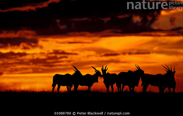Group of Eland silhouetted at sunset {Taurotragus oryx} Masai Mara Reserve, Kenya, EAST AFRICA,ARTIODACTYLA,AFRICA,EVENING,SKY,GROUPS,ANTELOPES,EAST,MAMMALS,DUSK,NATIONAL,SILHOUETTES, Peter Blackwell