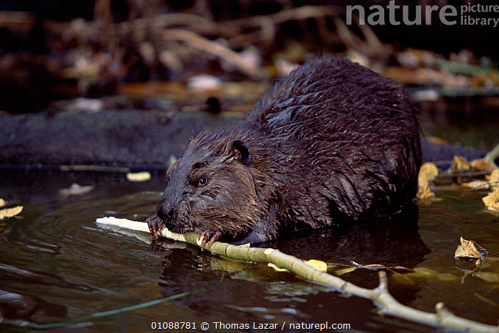 American beaver gnawing on wood {Castor canadensis} captive, USA, BEAVERS,PONDS,RIVER,RODENTS,MAMMALS,MN,RIVERS,North America, Thomas Lazar