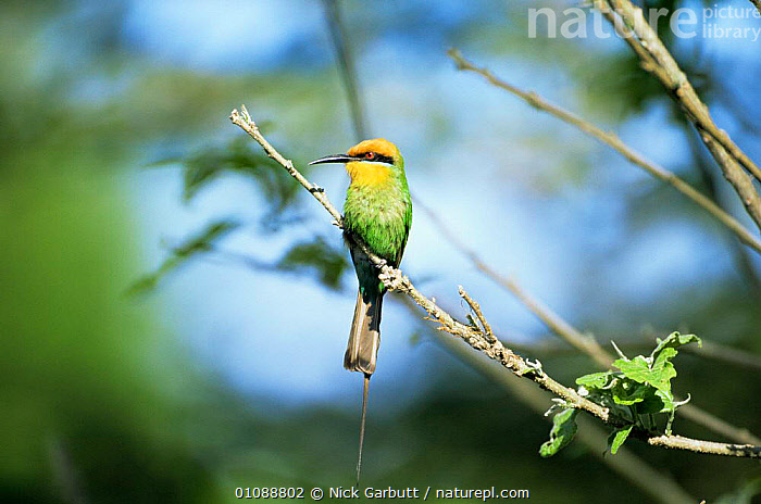 Adult Boehm's bee-eater {Merops boehmi} Shire River, Liwonde NP, Malawi, AFRICA,BEE EATERS,BIRDS,PORTRAITS,SOUTHERN AFRICA,VERTEBRATES, Nick Garbutt