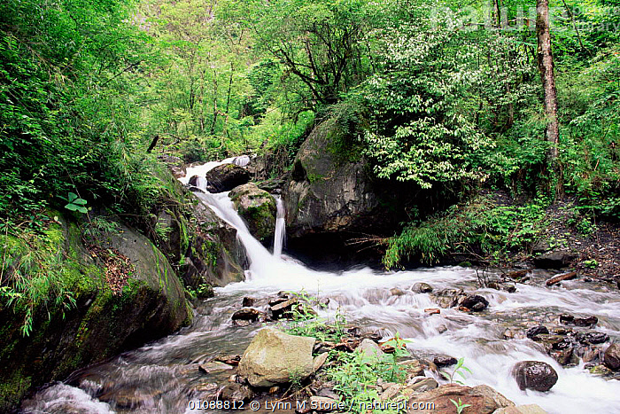 Waterfall and forest, Wolong Nature Reserve, Sichuan, China home to Giant Panda, ASIA,BEARS,HABITAT,HABITATS,INTERIOR,LANDSCAPES,MAMMALS,RIVERS,TEMPERATE RAINFOREST,TREES,WATER,WATERFALLS,WOOLONG,Plants,CHINA, Lynn M Stone