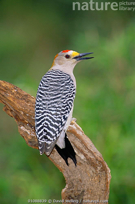 Golden fronted woodpecker  {Melanerpes aurifrons} rear view of male calling, Texas, USA., BEAKS,BIRDS,USA,VERTEBRATES,VERTICAL,VOCALISATION,WOODPECKERS,North America, David Welling