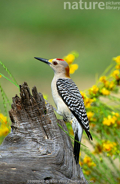 Golden fronted woodpecker {Melanerpes aurifrons} Texas, USA, BIRDS,COLOURFUL,FLOWERS,USA,VERTEBRATES,VERTICAL,WOODPECKERS,North America, Tom Vezo