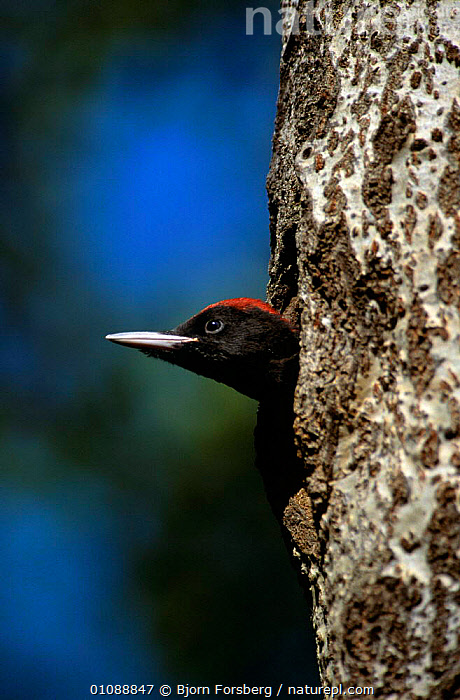 Black woodpecker male {Dryocopus martius} looking out of nest hole, Stelvio NP, Alps, Italy, BABIES,BIRDS,EUROPE,ITALY,NESTS,NP,RESERVE,VERTEBRATES,VERTICAL,WOODPECKERS,National Park, Bjorn Forsberg