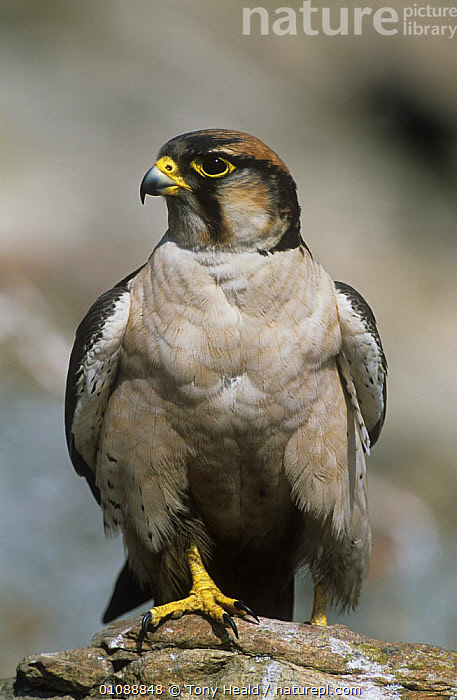 Lanner falcon {Falco biarmicus} perched, Giants Castle, South Africa, BIRDS,BIRDS OF PREY,FALCONS,PORTRAITS,SOUTHERN AFRICA,VERTEBRATES,VERTICAL, Tony Heald