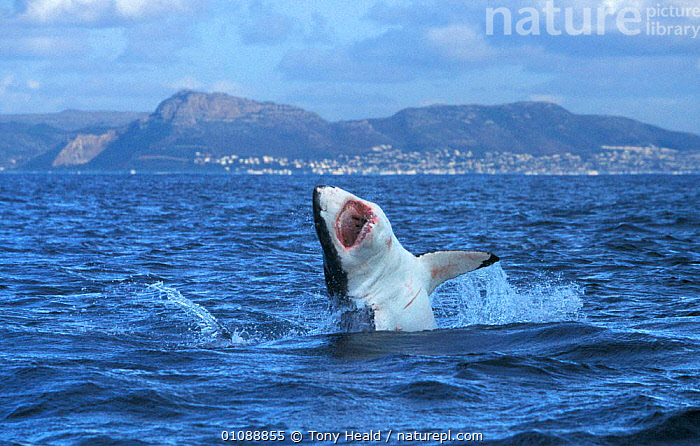 Great white shark breaching, Seal island, False Bay, South Africa, ACTION,AFRICA,BREACHING,COASTAL WATERS,DRAMATIC,FALSE,FISH,,JUMPING,MOUTHS,SOUTHERN AFRICA,TEETH,TH,SHARKS, Fish,CONCEPTS, Tony Heald