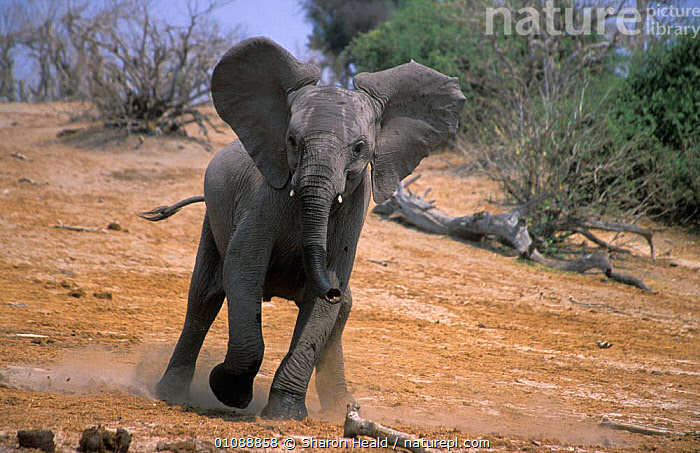 African elephant juvenile charging {Loxodonta africana} Chobe NP, Botswana, ACTION,AFRICANA,BOTSWANA,CHARGING,CHOBE,CUTE,HORIZONTAL,HUMOROUS,JUVENILE,MAMMALS,NP,PROBOSCIDS,TH,YOUNG,CONCEPTS,NATIONAL PARK,ELEPHANTS, Sharon Heald
