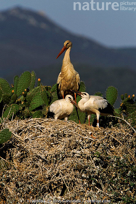 White stork chicks and adult at nest {Ciconia ciconia}  Spain, BIRDS,CHICKS,EUROPE,FAMILIES,JUVENILE,NEST,NESTS,SPAIN,VERTICAL,YOUNG, John Cancalosi