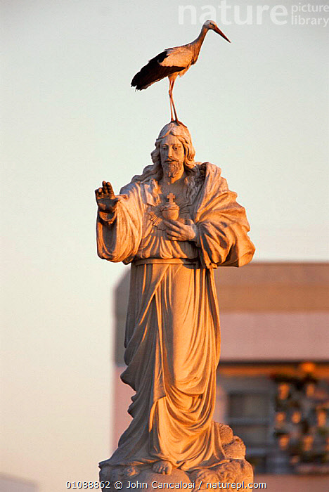 White stork {Ciconia ciconia} perched on statue of saint Spain, BIRD,BIRDS,BUILDINGS,EUROPE,ONE,PERCHED,SAINT,SPAIN,STATUE,STATUES,URBAN,VERTICAL, John Cancalosi