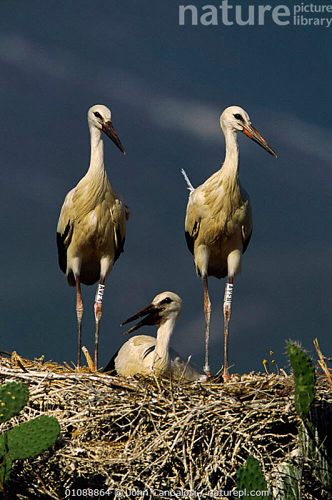 White stork chick and adults at nest {Ciconia ciconia}  Spain, BIRDS,CHICK,EUROPE,FAMILIES,GROUPS,JUVENILE,NEST,NESTS,SPAIN,VERTICAL, John Cancalosi