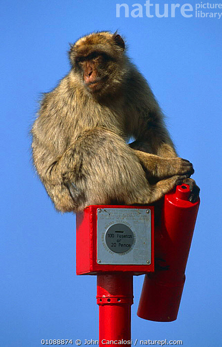 Barbary ape {Macaca sylvanus} sitting on tourist telescope, Gibraltar, EUROPE,MACAQUES,MAMMALS,MONKEYS,PRIMATES,SPAIN,TOURISM,URBAN,VERTEBRATES,VERTICAL, John Cancalosi