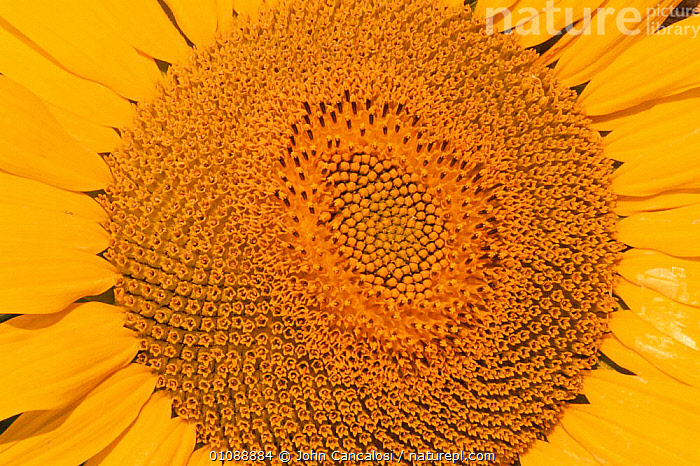 Sunflower close-up {Helianthus annuus} Spain, ABSTRACT,ARTY SHOTS,BRIGHT,CLOSE UPS,COLOURFUL,EUROPE,FLOWERS,HEADS,HORIZONTAL,PETALS,PLANTS,SPAIN,SUNFLOWER,YELLOW, John Cancalosi