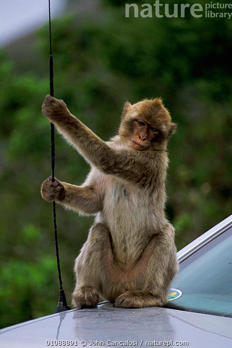 Barbary ape plays with car aerial {Macaca sylvanus}  Gibraltar, AERIAL,AMUSING,CAR,CARS,EUROPE,GIBRALTAR,MAMMALS,MONKEYS,NAUGHTY,PLAYS,PRIMATES,TAME,VEHICLES,VERTICAL, John Cancalosi