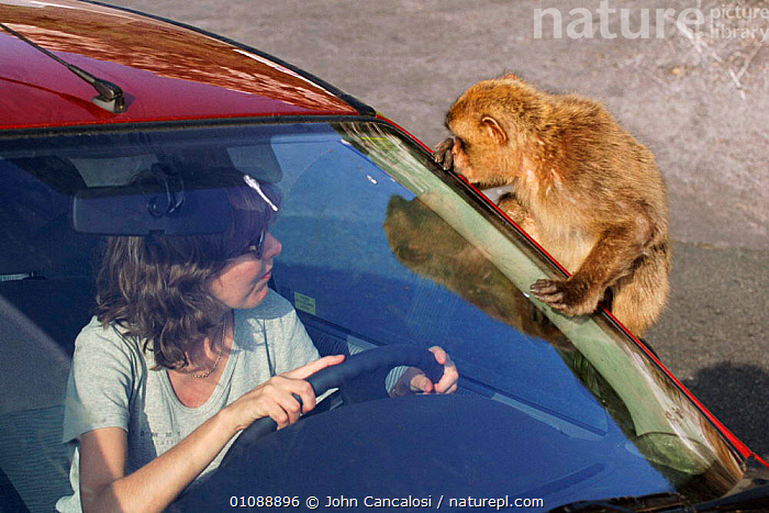 Barbary ape on car {Macaca sylvanus} Gibraltar, CAR,EUROPE,GIBRALTAR,HORIZONTAL,INTERACTION,MAMMALS,MONKEYS,NAUGHTY,PEOPLE,PRIMATES,TAME,VEHICLES,WOMAN, John Cancalosi