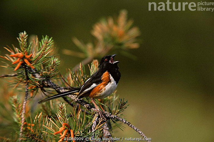 Rufous sided towhee {Pipilo erythrophthalmus} male calling on Pitch pine, New Jersey, USA., BIRDS,CALLING,CONIFEROUS,HORIZONTAL,MALES,PASSERINES,TOWHEES,TREES,USA,VERTEBRATES,North America,Plants, Doug Wechsler