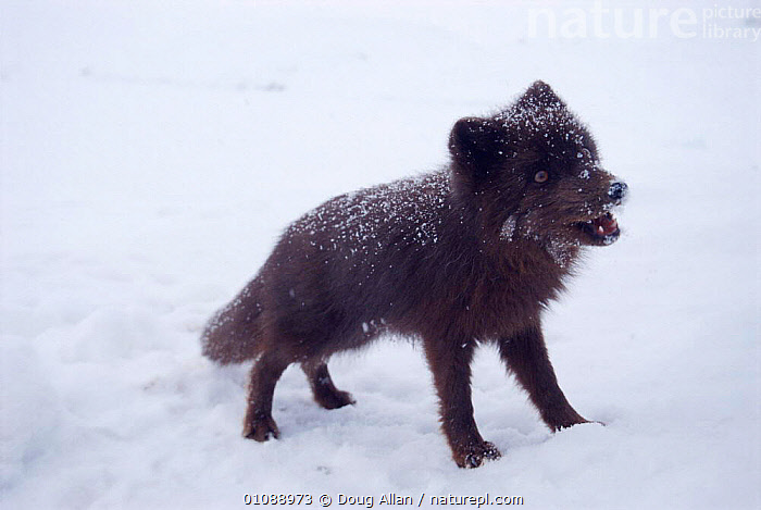 Arctic fox in blue phase {Vulpes lagopus} Svalbard, Norway, CANIDS,CARNIVORES,COLOUR CHANGES,DA,DOGS,DOUG,EUROPE,HORIZONTAL,MAMMALS,NORWAY,PHASE,SCANDINAVIA,SVALBARD, Scandinavia, Doug Allan