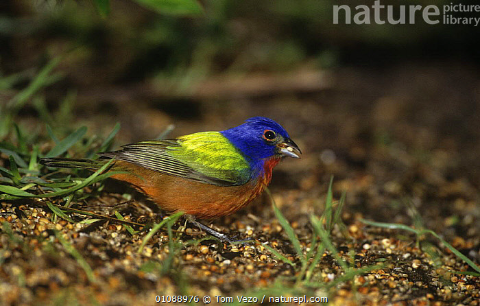 Painted bunting {Passerina ciris} male feeding on ground, Texas, USA, BIRDS,BUNTINGS,COLOURFUL,MALES,PASSERINES,USA,VERTEBRATES,North America, Tom Vezo
