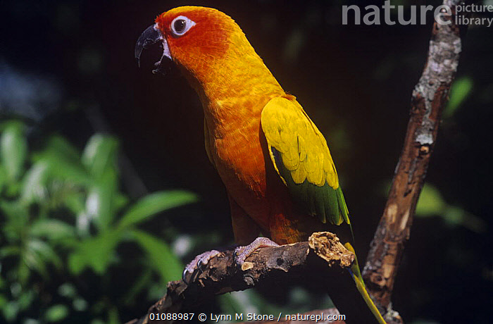 Sun conure / parakeet {Aratinga solstitialis} captive, Endangered, from Brazil and Guyana, BIRDS,COLOURFUL,CONURES,PARROTS,PORTRAITS,PROFILE,SOUTH AMERICA,TROPICAL RAINFOREST,VERTEBRATES,YELLOW, Lynn M Stone