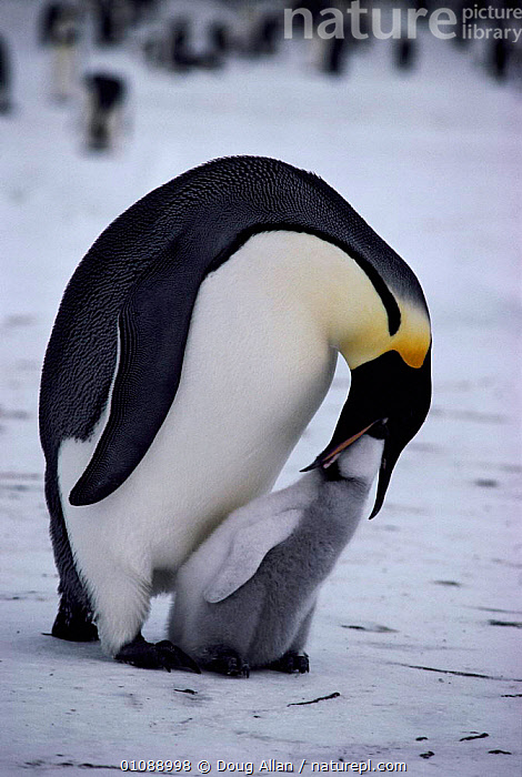 Emperor penguin regurgitates food for 3-week-old chick {Aptenodytes forsteri} Antarctica, ANTARCTICA,BABIES,BIRDS,BLUE PLANET,CHICK,DA,FAMILIES,FEEDING,FLIGHTLESS,PARENTAL BAHAVIOUR,SEABIRDS,VERTICAL,PENGUINS, Seabirds, Doug Allan
