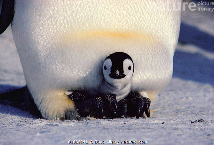 Two-week-old Emperor penguin chick sits on parent's feet under brood pouch for warmth {Aptenodytes forsteri} Antarctica, ANTARCTICA,BIRDS,BLUE PLANET,CHICK,CUTE,DA,FEET,FLIGHTLESS,HIDING,HORIZONTAL,ICE,PROTECTION,SAFE,SEABIRDS,THERMOREGULATION,WARMTH,PENGUINS, Seabirds, Doug Allan