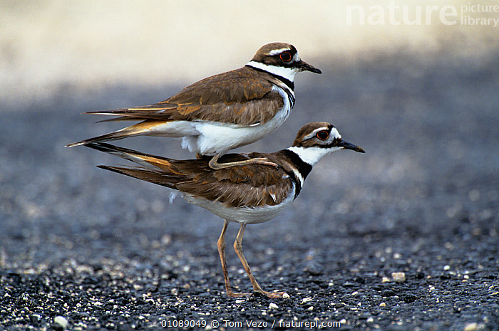 Killdeer plover {Charadrius vociferus} pair about to mate,  Rio Grande valley, Texas, USA, BIRDS,COPULATION,MALE FEMALE PAIR,MATING BEHAVIOUR,PLOVERS,PROFILE,USA,VERTEBRATES,WADERS,Reproduction,North America, Tom Vezo