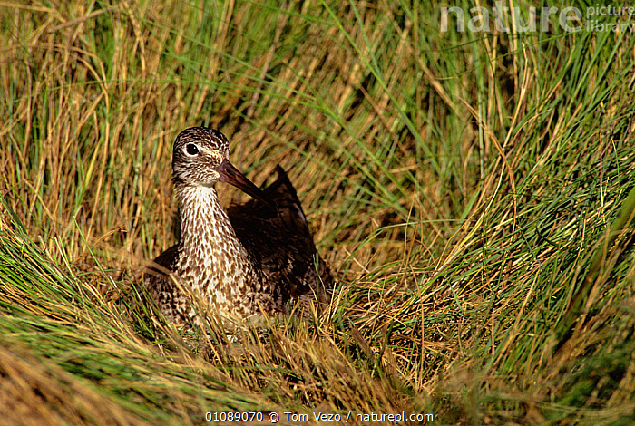 Willet {Tringa semipalmatus} on nest in long grass, Long Is, New York, USA, BIRDS, NESTS, SANDPIPERS, USA, VERTEBRATES, WADERS,North America, Tom Vezo