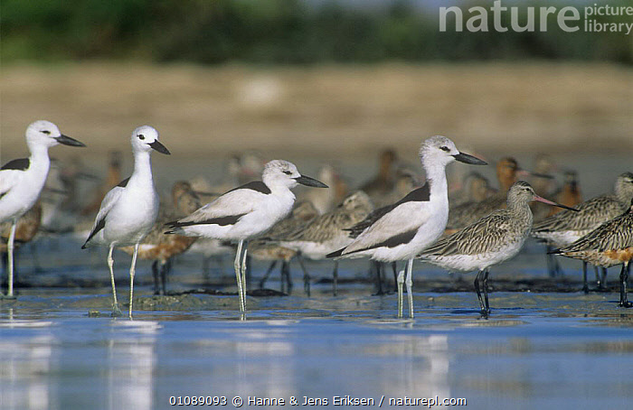 Crab plovers {Dromas ardeola} at water with Godwits in background, Barr Al Hikman, Oman, ARABIA,BIRDS,COASTS,CRAB PLOVERS,FLOCKS,GODWIT,GROUPS,MIXED SPECIES,PLOVERS,VERTEBRATES,WADERS, Hanne & Jens Eriksen