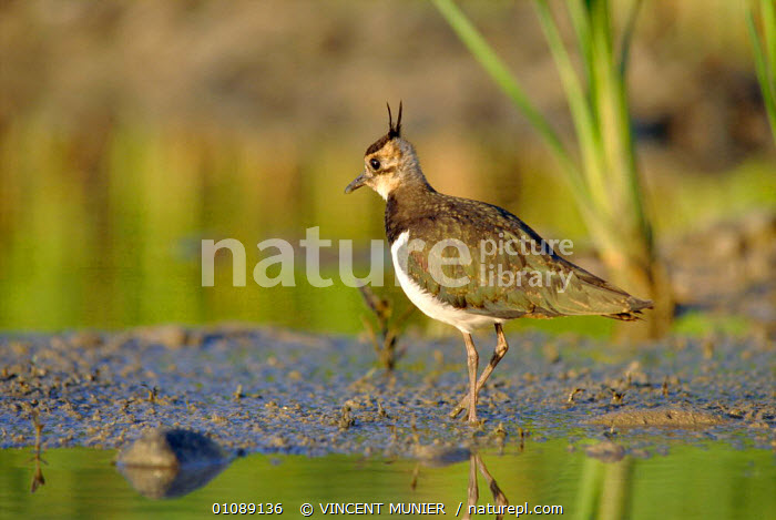 Lapwing at water {Vanellus vanellus} Voges, France, BIRDS,EUROPE,PLOVERS,WADERS, Waders, VINCENT MUNIER