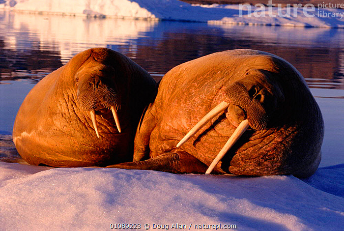 Two Walrus hauled out on ice floe {Odobenus rosmarus},  Greenland, ARCTIC,ATLANTIC,BLUE PLANET,DA,GREENLAND,ICE,MAMMALS,MARINE,PINNIPEDS,TUSKS,TWO, Doug Allan