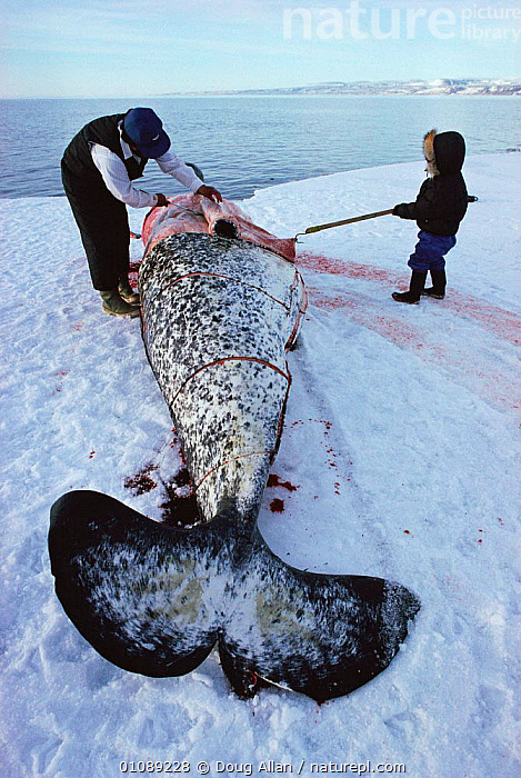 Inuit hunter cuts up dead Narwhal {Monodon monoceros} Arctic Bay, Canadian Arctic, ARCTIC,BLUE PLANET,CANADA,DA,DEAD,FOOD,HUNTER,HUNTING FOOD,ICE,INUIT,PEOPLE,TRADITIONAL,TRIBES,UP,VERTICAL,NORTH AMERICA, Doug Allan
