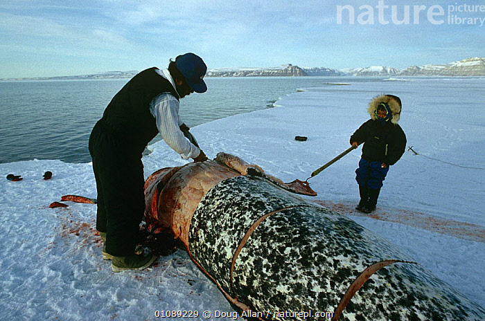 Inuit hunter with child, cutting up dead Narwhal {Monodon monoceros} Arctic Bay, Canadian arctic., ARCTIC,CANADA,CETACEANS,DEATH,HUNTING,ICE,MAMMALS,PEOPLE,TRADITIONAL,TRIBES,VERTEBRATES,WHALES,North America, Doug Allan