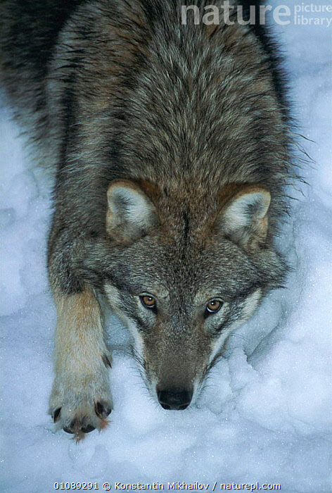 Grey wolf in snow {Canis lupus}, CANIDS,CAPTIVE,CARNIVORES,DOGS,GRAY,KM,MAMMALS,ONE,PORTRAIT,PORTRAITS,SNOW,VERTICAL, Konstantin Mikhailov