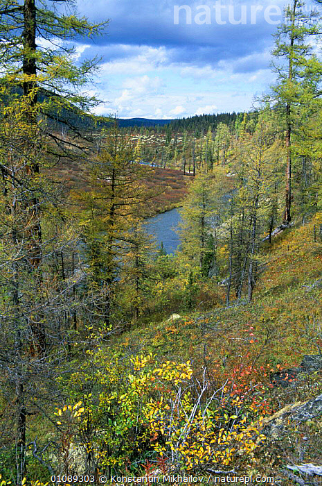Larch taiga landscape of east Siberian type on the western shore of Lake Baikal, Russia. The beginning of Lena River, Baikalo-Lenskiy Zapovednik / reserve., CONIFEROUS,EUROPE,FORESTS,FRESHWATER,HABITAT,LAKES,LANDSCAPES,RUSSIA,TAIGA,TREES,VERTICAL,woodland,Plants,CIS, Konstantin Mikhailov