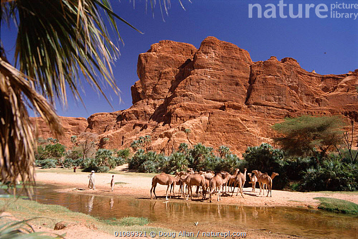 Camels at water in oasis, Chad, north Africa, 35,AFRICA,ALLAN,ARTIODACTYLA,CAMELS,CLIFFS,DA,DESERTS,DOUG,GEOLOGY,GROUPS,HORIZONTAL,LANDSCAPES,LIVESTOCK,MAMMALS,NORTH AFRICA,OASIS,PEOPLE,SANDSTONE,WATER,NORTH-AFRICA, Doug Allan