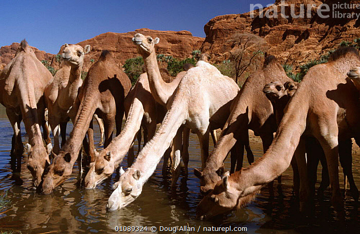 Domestic Dromedary camels {Camelus dromedarius} drinking at oasis, Chad, North Africa, AFRICA,ARTIODACTYLA,CAMELS,DESERTS,DOMESTIC,DOMESTICATED,DRINKING,GROUPS,LIVESTOCK,MAMMALS,NORTH AFRICA,WATER,WATERHOLE,WORKING,NORTH-AFRICA, Doug Allan