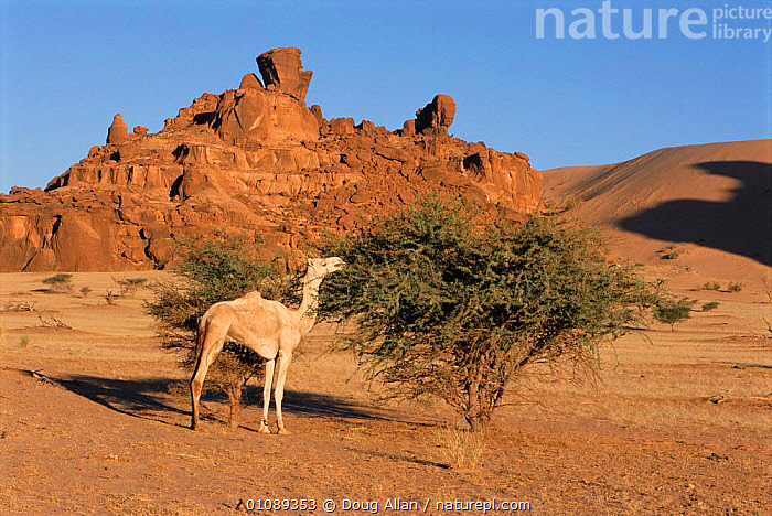 Camel grazing on shrub, Tibesti region, Chad, North Africa, ARTIODACTYLA,CAMELS,DA,DESERT,DESERTS,FEEDING,GRAZING,HORIZONTAL,LANDSCAPE,MAMMALS,NORTH AFRICA,SCENIC,SHRUB,TREES,AFRICA,PLANTS,NORTH-AFRICA, Doug Allan