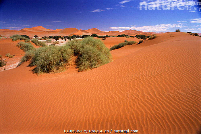 Sand dunes with wind ripple effect and oasis. Sossusflei, Namibia, DA,DESERTS,DUNES,EFFECT,HORIZONTAL,LANDSCAPES,OASIS,RIPPLE,SAND,SOSSUSFLEI,SOUTHERN AFRICA, Doug Allan